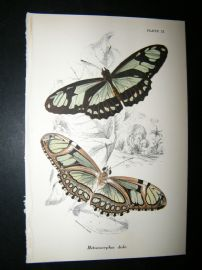 Allen & Kirby 1890's Antique Butterfly Print. Metamarpha Dido